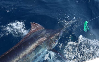 Blue Marlin being caught offshore